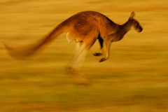 Western Grey Kangaroo Royalty Free Stock Photo
