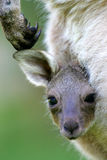 Western Grey Kangaroo Royalty Free Stock Images