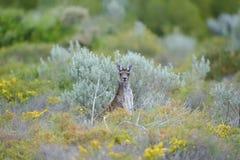 Western Grey Kangaroo Royalty Free Stock Photos