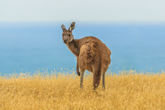 Western grey kangaroo Royalty Free Stock Photography