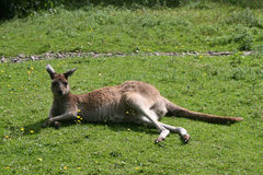 Western Grey Kangaroo (Macropus Fuliginosis) Stock Images
