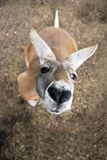 A Western grey kangaroo (Macropus fuliginosus) in Australia Royalty Free Stock Images