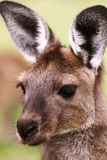 The western grey kangaroo (Macropus fuliginosus) Stock Photography