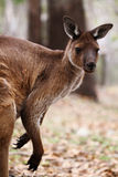 The western grey kangaroo (Macropus fuliginosus) Stock Photography