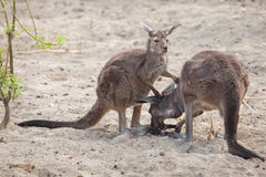 Western grey kangaroo Macropus fuliginosus melanops Stock Photography