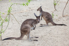 Western grey kangaroo & x28;Macropus fuliginosus melanops& x29;. Mainland Western grey kangaroo & x28;Macropus fuliginosus melanops& x29;, also known as Royalty Free Stock Photography