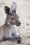 Western grey kangaroo & x28;Macropus fuliginosus melanops& x29;. Mainland Western grey kangaroo & x28;Macropus fuliginosus melanops& x29;, also known as Stock Photography