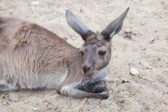 Western grey kangaroo Macropus fuliginosus melanops. Mainland Western grey kangaroo Macropus fuliginosus melanops, also known as the black-faced kangaroo Royalty Free Stock Photos