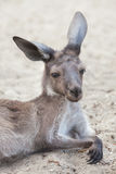 Western grey kangaroo Macropus fuliginosus melanops Stock Image