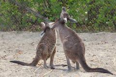 Western grey kangaroo Macropus fuliginosus melanops Royalty Free Stock Photography