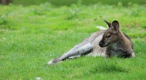 Western grey kangaroo Stock Photos