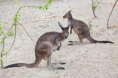 Western grey kangaroo & x28;Macropus fuliginosus melanops& x29; Royalty Free Stock Photography