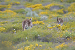 Western Grey Kangaroos, Australia Stock Images