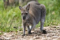 Western Grey  Kangaroos in green background. Australia western grey kangaroo in green field Stock Image