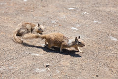 Western Grey Squirrel Royalty Free Stock Images