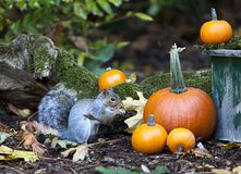 Western Grey Squirrel Eating near Fall Pumpkins royalty free stock photos