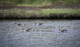 Western Greylag Goose  family (Anser anser anser) Stock Image