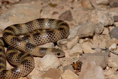 Western ground snake. A western ground snake from the Trans-Pecos region of West Texas Royalty Free Stock Photography