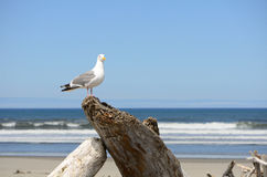 Western Gull Royalty Free Stock Photography