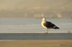 Western Gull Stock Photography