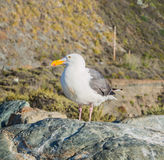 Western Gull bird Royalty Free Stock Photography