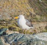 Western Gull bird. On rock Royalty Free Stock Photography