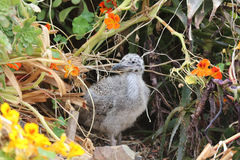 Western Gull Chick. Larus occidentalis in California. USA stock image