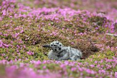 Western Gull Chick Royalty Free Stock Photography