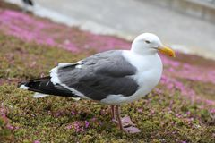 Western Gull closeup Stock Photo
