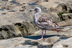 Western Gull with First-Summer Plumage in La Jolla, California. A Western gull Larus occidentalis with first-summer plumage at on natural rock formations at La Stock Photo