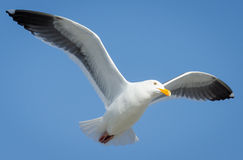 Western Gull Flying. A Western Gull soars in a cloudless blue sky by San Francisco Bay Stock Photos