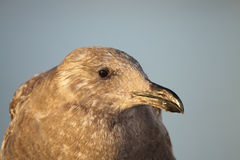 Western Gull Hunched Up Royalty Free Stock Images