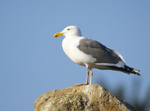 Western Gull, Larus occidentalis Stock Photos