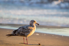 Western Gull Larus occidentalis. Juvenile Western Gull Larus occidentalis in evening light on Marshalls Beach in San Francisco, California, USA Royalty Free Stock Images