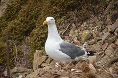 Western gull Larus occidentalis near San Francisco, California, USA. royalty free stock photos