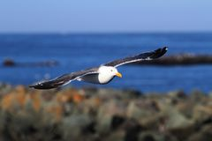 Western Gull (Larus occidentalis) By The Ocean Stock Photos