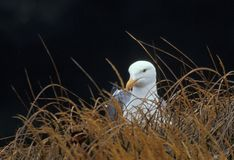 Western Gull (Larus occidentalis) takes a break Stock Images