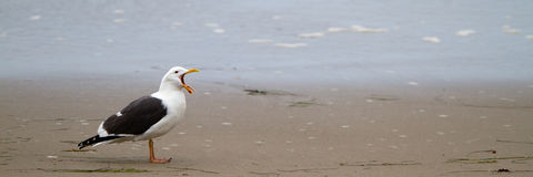 Western Gull, Larus occidentalis Royalty Free Stock Photo
