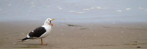 Western Gull, Larus occidentalis. Western Gull yawns on the beach near Malibu, California, at dawn Royalty Free Stock Photo