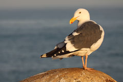 Western Gull Looking Back. A Western Gull looking back over it's shoulder along the shore of the Pacific Ocean Stock Image