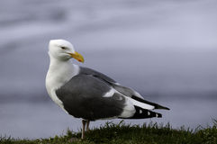 Western Gull Looking Back Stock Photo