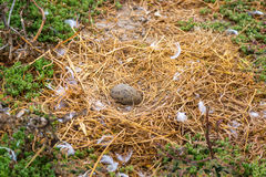 Western Gull Nest and Egg Stock Image