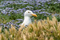 Western gull nesting on Anacapa Island, Channel Islands National Park Royalty Free Stock Photography