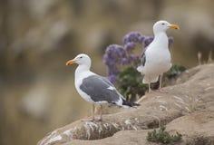 Western Gull pair. A pair of Western Gulls perch majestically atop the La Jolla Cliffs in San Diego, California Stock Photos