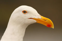 Western Gull Portrait Royalty Free Stock Images