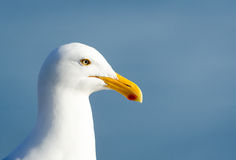 Western Gull Profile. Closeup of a Western Gull in profile, light blue diffuse background Stock Photography