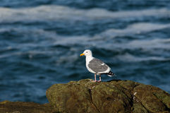 Western gull on rocky shore Stock Photo