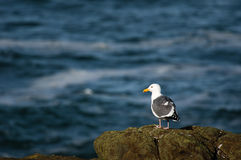 Western gull on rocky shore Stock Images