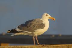 Western Gull. At San Francisco's Fisherman's Wharf Stock Images