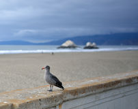 Western Gull on San Francisco's Ocean Beach Royalty Free Stock Image